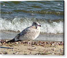 Speckled Brown Gull Acrylic Print by Margie Avellino