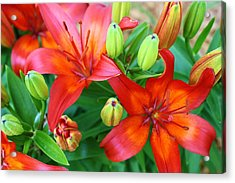 Spectacular Day Lilies Acrylic Print by Bruce Bley