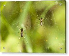 Spider Couple Acrylic Print by Jouko Mikkola