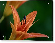 Acrylic Print featuring the photograph Spider Lily 2 by Cathy Harper