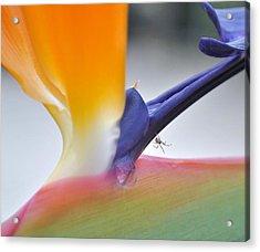 Spider Of Paradise No. 2 Acrylic Print