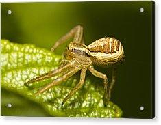 Spider On Leaf Acrylic Print by Jouko Mikkola