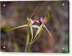 Spider Orchid Australia Acrylic Print