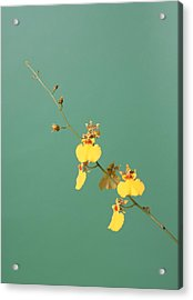 Spider Orchid Acrylic Print by Lynn Berreitter