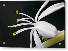 Spider Plant Flower Acrylic Print