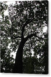 Spider Tree Acrylic Print