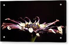 Spider White Acrylic Print