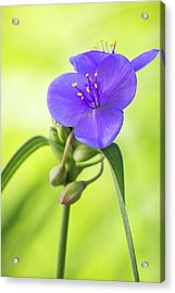 Spiderwort Wildflower Acrylic Print