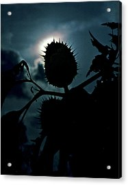 Spike Seed Pod Acrylic Print by Dave Chafin