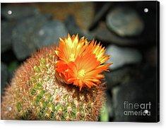 Spiky Little Cactus With Orange Flower Acrylic Print