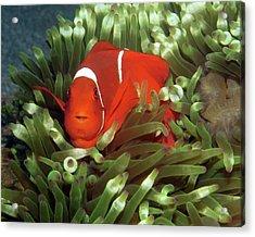 Spinecheek Anemonefish, Indonesia 2 Acrylic Print