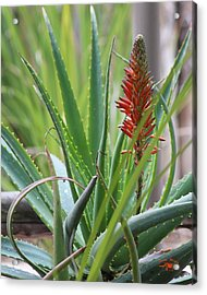 Spiney Spring Acrylic Print by Matthew Moore