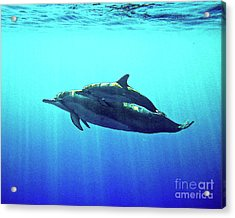 Spinner Dolphin With Baby Acrylic Print