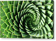 Spiral Plant Acrylic Print