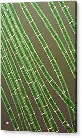 Spirogyra Algae, Light Micrograph Acrylic Print by Jerzy Gubernator