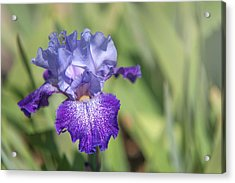 Splashacata 1. The Beauty Of Irises Acrylic Print by Jenny Rainbow