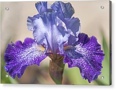 Splashacata. The Beauty Of Irises Acrylic Print by Jenny Rainbow