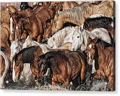 Splashing Horses Acrylic Print