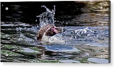 Acrylic Print featuring the photograph Splashing Humboldt Penguin by Scott Lyons