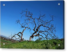 Split Single Tree On Hillside Acrylic Print