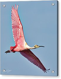 Acrylic Print featuring the photograph Spoonbill Flying Over by David A Lane