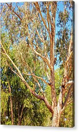 Acrylic Print featuring the photograph Spot The Koala, Yanchep National Park by Dave Catley