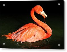Spotlight On A Bathing Flamingo Acrylic Print