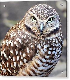 Spots - Burrowing Owl Acrylic Print