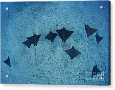 Spotted Eagle Rays Acrylic Print by Dave Fleetham - Printscapes