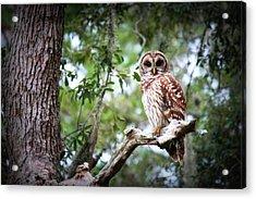 Spotted Owl II Acrylic Print