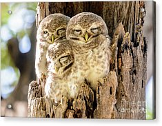 Spotted Owlets Acrylic Print