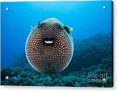 Spotted Pufferfish Acrylic Print by Dave Fleetham - Printscapes