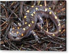 Spotted Salamander Acrylic Print by Derek Thornton