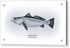Spotted Sea Trout Acrylic Print by Ralph Martens