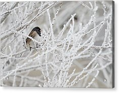 Spotted Towhee In Winter Acrylic Print