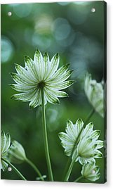 Botanica .. Spray Of Light Acrylic Print