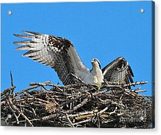 Acrylic Print featuring the photograph Spread-winged Osprey  by Debbie Stahre
