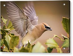 Spread Your Wings Cedar Waxwing  Acrylic Print