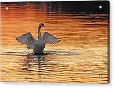 Spreading Her Wings In Gold Acrylic Print by Randall Branham