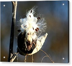 Acrylic Print featuring the photograph Spreading Seeds by Diane Merkle