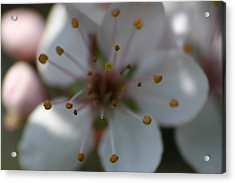 Spring Beauty Macro 1 Acrylic Print