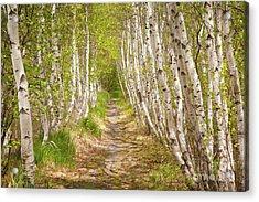 Spring Birch Acrylic Print