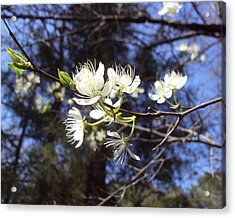 Spring Blooms Acrylic Print by Jennifer Coleman