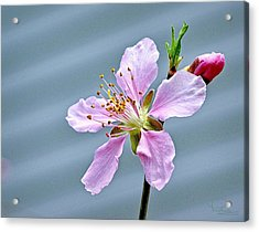 Spring Blossom Acrylic Print by Ludwig Keck