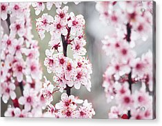 Spring Blossoms Acrylic Print by Karol Livote