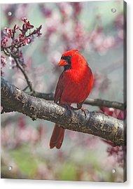 Spring Cardinal 2 Acrylic Print