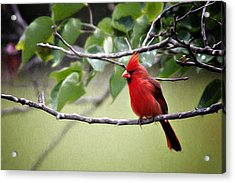 Spring Cardinal Acrylic Print by Lana Trussell