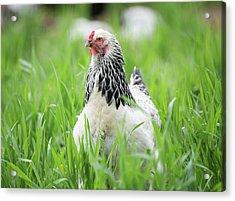 Spring Checken Acrylic Print