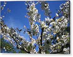Spring Cherry Blossoms Acrylic Print by Mary Gaines