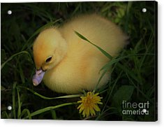 Spring Chick Acrylic Print by Paulette Thomas